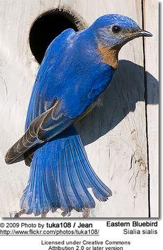 Bluebirds...my favorite