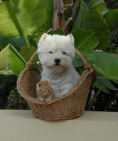 Someone put this on my porch, minus the cat ew West Highland White Terriers (Cyprus) - Westie