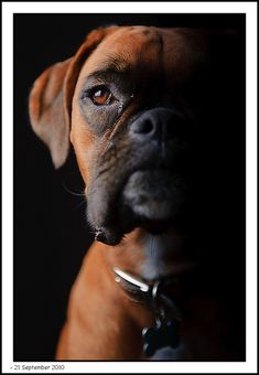 Twiggy the #boxer again | Flickr - Photo Sharing!