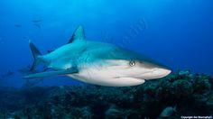 Caribbean Reef Shark West Palm Beach Bahamas