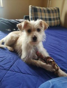 Samoyed Dogs, Pet Dogs, Dogs And Puppies, Rescue Dogs, Cairn Terrier Mix, Fox Terrier, Scruffy Dogs, Funny Animals, Cute Animals
