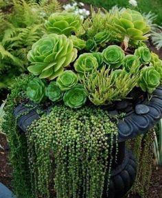 Beautiful urn with hen and chicks and a very nice showing of string of pearls hanging over edge LINDO VASO DE SUCULENTAS Succulents In Containers, Container Plants, Cacti And Succulents, Planting Succulents, Container Gardening, Planting Flowers, Container Design, Flowers Garden, Crassula