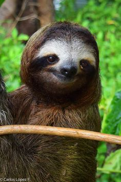 3 toed photographed in the southern Caribbean of – Baak Turn Animals Cute Wild Animals, Cute Little Animals, Happy Animals, Nature Animals, Animals Beautiful, Funny Animals, Cute Sloth Pictures, Cute Animal Photos, Primates