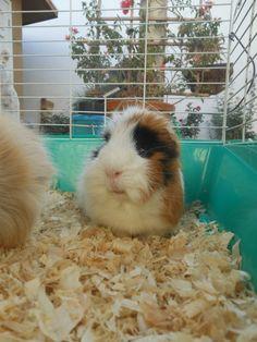 ginny pig Mascarita