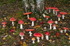 a place where fairies dance...... Amanita Muscaria by tormento, via Flickr