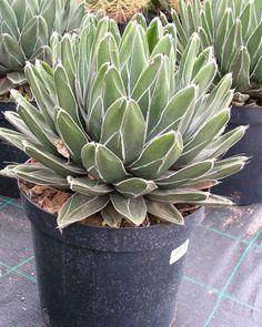 Cactus & Jardins Secs : Agave Reginae Victoriae