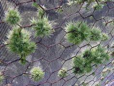 Plant Oddities-Tillandsia tricholepsis