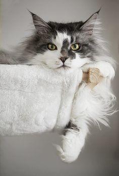 Resultado de imagem para cat http://www.mainecoonguide.com/male-vs-female-maine-coons/
