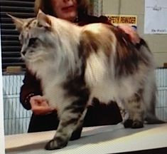 Silver Maine Coon Cat - www.mainedelitecattery.com