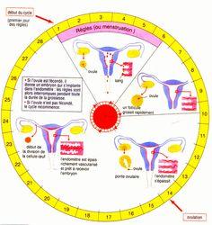 Les douleurs menstruelles sont dues aux contractions que fait l'utérus pour expulser le sang des règles ces contractions relèvent d'une hormone stimulante des muscles lisses
