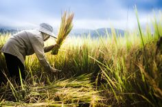 Fotograf Thai farmer harvest paddy rice in farm von Sawasdee Thailand auf Rice Crop, Rice Plant, Thai Rice, Beautiful Vietnam, Rice Paddy, Capricorn Moon, Farm Pictures, Peaceful Life, Korean Traditional