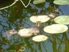 L'ecosistema acquatico; un grazioso laghetto-stagno da giardino a bassa manutenzione in tinozza (botte, mastello PVC) dove la vita si genera spontaneamente: ninfee e altre piante acquatiche, pesci rossi, rane e... Rane, Mini Pond, Bird, Outdoor Decor, Birds