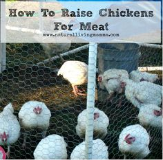 Raising+chickens+for+meat+has+become+a+bit+of+a
