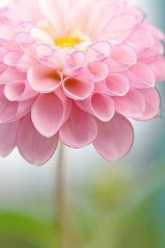 dahlias. best. flower. EVER.