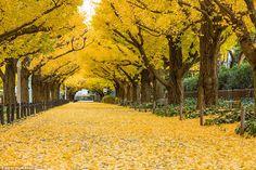 世界で最も美しい木のトンネル11選に関連した画像-01 ・明治神宮外苑のイチョウ並木(日本) アジアの中でもとりわけ美しい公園やパブリックスペース、庭園などがひしめく東京。紅葉の時期には都市の喧騒を感じさせない銀杏のトンネルが見頃を迎えます。