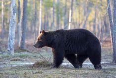 Riistakoulu Black Bear, Brown Bear, Animals, Bears, Animales, American Black Bear, Animaux, Animal, Animais