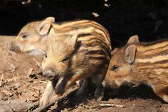 so cute! wild boar piglets (photo by Joachim S. Müller)