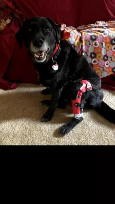 """Meet Tula.  She tore her ACL/CCL in November 2019 after running around doing her """"football moves.""""  Her family opted for a dog knee brace and physical therapy to get her back to her fun self instead of undergoing surgery.  Six months in, Tula continues to wear her brace for walks, swims and playtime. Acl Brace, Knee Brace, Dog Braces, Anterior Cruciate Ligament, Get Her Back, After Running, November 2019, Physical Therapy, Dog Walking"""