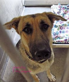 RESCUED --- A4766942 my name is Lorena. I am a friendly 2 yr old female black/tan German Shepherd mix. I came to the shelter as a stray on October 15. available 10/25/14. located in bldg 4 - no public access Baldwin Park shelter Open for Adoptions 7 days a Week 4275 Elton Street, Baldwin Park, California 91706 Phone 626 430 2378 https://www.facebook.com/photo.php?fbid=862488077096364&set=a.705235432821630&type=3&theater