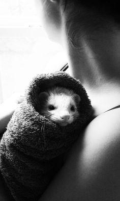 ferret burito http://www.pinterest.com/jbjund/ferrets-with-pester-and-freya/