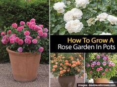 How To Grow A Rose Garden In Pots. Have you ever heard that anything that grows in the ground can be grown in a container? That's true, even for roses. While potted roses have additional watering and fertilizing requirements, they are wonderful for patios, decks and balconies, making them adaptable focal points in any size garden. See the step-by-step guide at this site to make growing a rose container garden easier.