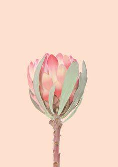 Pink Protea print A3