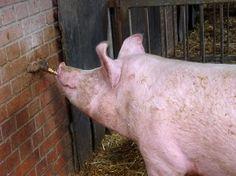 Rodenbergs Hof beherbergt rund 40 Neuland Schweine, welche täglich über ausreichend Stroh und Tageslicht verfügen. Die Tränke befindet sich draußen an der frischen Luft; so müssen die Tiere selbst im Winter raus und sind dadurch das ganze Jahr über fit und abgehärtet.