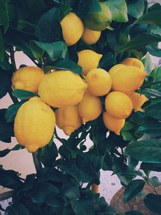 Så sköter du ditt citronträd.