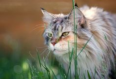 Maine Coon Cat by Sharizah, via Flickr
