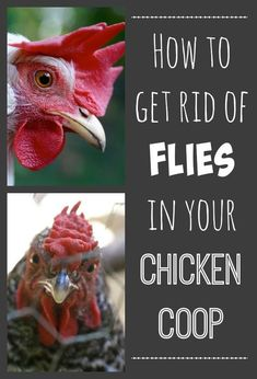 Flies in the chicken coop are a common problem. We found two easy and cheap solutions to get rid of them for good.