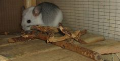 Safe and toxic woods for chinchillas