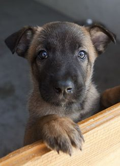 You would think that a dog's favorite person would be whoever gives them the most food and attention, right? Does your dog have a favorite person? This is How Dogs Choose Their Favorite Person Berger Malinois, Belgian Malinois Puppies, Belgian Shepherd, German Shepherd Dogs, Pastor Belga Malinois, Belgium Malinois, Cute Dogs And Puppies, Doggies, Shepherd Puppies