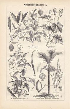1895 Antique German Engraving of Stimulant Plants. Cola, Grape Vine, Betel Nut Palm, Tea, and Vanilla Antique Plates, Antique Prints, Vintage Prints, Botanical Illustration, Botanical Prints, Illustration Art, Illustrations, Grape Vines, Vintage World Maps
