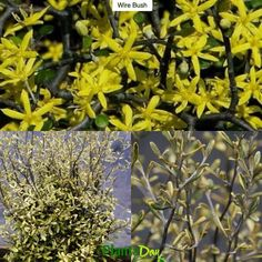 Wire Bush Corokia x virgata Sunsplash Type: Evergreen Shrub Exposure: Full Sun Water: Regular  This New Zealand native is frequently referred to as a structural plant because of the interesting branching habit. The bronzy stems have a twisty / wiry appearance and bear small sage green leaves bordered with creamy yellow that are an elongated spoon shape. Tiny yellow flowers arrive in summer. It can be very dramatic if selectively pruned for form then uplit and also very effective in…