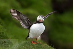 atlantic puffin, fratercula arctica, papuchálk bělobradý