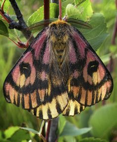 Sheep Moth, by Jeff Clarke, MPG Ranch - Insects