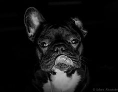 'Slurp', French Bulldog