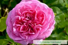 Gertrude Jekyll Rose by David Austin from Ashridge Nurseries
