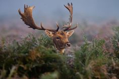 "jaws-and-claws: "" _W9H6863 Friendly Fallow Stag by asbimages.co.uk on Flickr. """