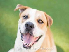 Hello! Today is a wonderful day because today is the day that I find my forever home. My name is Chuck River and I want nothing more than to be your best friend. I am a neutered male, tan and white Bulldog and Hound and I am about 3 years old (ID#A078792)
