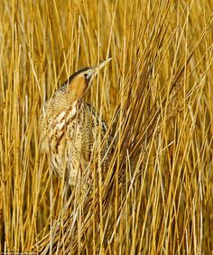 David (Schenck) took this shot of the Bittern earlier this summer in a nature reserve in Suffolk, England.