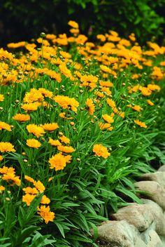 Acaena Buchananii Evergreen Perennial Rockery Ground-cover Plant in 9cm Pot