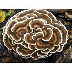 Mushroom Spawn Bag 2kg Trametes versicolor - Australian Native Turkey tail - Shipping included