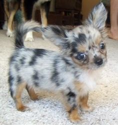 a long haired Chihuahua puppy!---OMG it's so cute! I can't stand it
