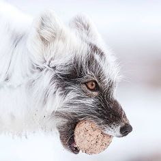 The arctic fox is superbly adapted to the cold. Its dense, multi-layered coat is several inches thick during winter and provides excellent heat insulation. Like other foxes, arctic foxes tend to be solitary and mostly nocturnal.   Artic Fox with Snow Goose egg, Wrangel Island, Russia. © Sergey Gorshkov/ On view in Nature's Best Photography Windland Smith Rice International Awards 2013 http://s.si.edu/1sIc6tk. #eggcellent