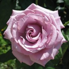 Lavender roses are a symbol of fantasy and enchantment. They are also used to express feelings of love at first sight.
