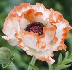 Poppy 'Little Picotee' - Poppy 'Little Picotee' Yard Ideas & More Papaver orientale 'Little Picotee' - Exotic Flowers, Tropical Flowers, White Flowers, Beautiful Flowers, Yellow Roses, Pink Roses, Anemone Flower, Flower Art, Cactus Flower