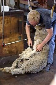 Golden Shears Sheep Shearing Festival Masterton, New Zealand New Zealand Country, New Zealand North, Golden Shears, Sheep Shearing, Iron Chef, Thing 1, Livingston, Farmers, Patronage