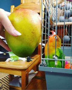 I Showed My Parrot That's Legally Blind And Loves Bbw Women A Mango And Now I Feel Bad Because It Was Love At First Sight - Funny Memes. The Funniest Memes worldwide for Birthdays, School, Cats, and Dank Memes - Meme Funny Birds, Cute Birds, Cute Funny Animals, Cute Baby Animals, Funny Cute, Hilarious, Funny Coincidences, Funny Parrots, Budgies