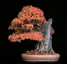 Bonsai Trident Maple Tree with roots grown over a rock